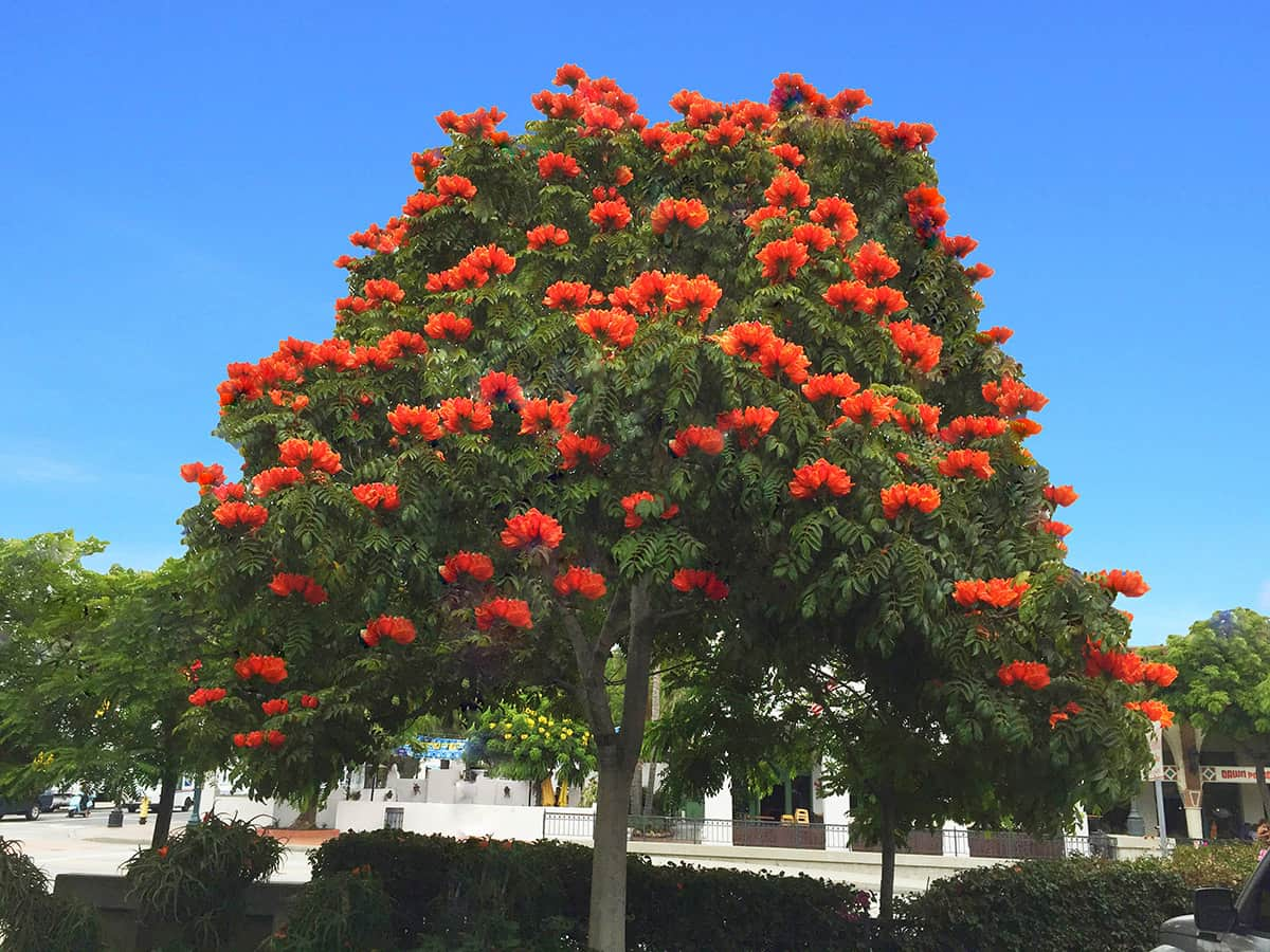 African Tulip Tree Santa Barbara Beautiful