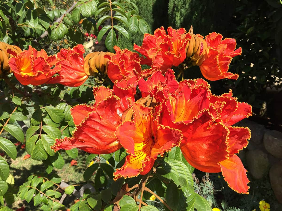 African Tulip Tree - Orange Flower