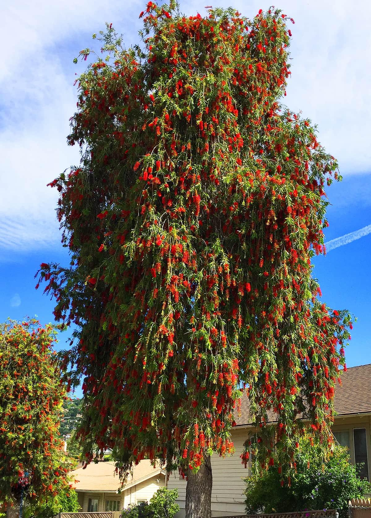 Weeping Bottlebrush Tree