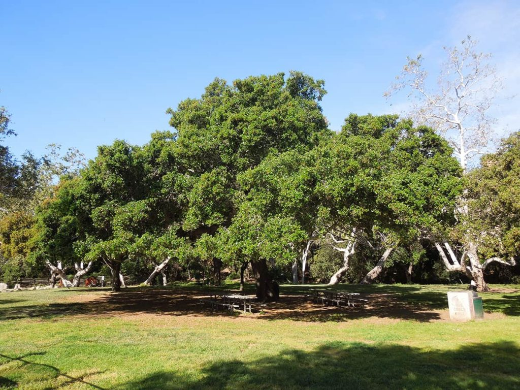 Coast Live Oak April 2017