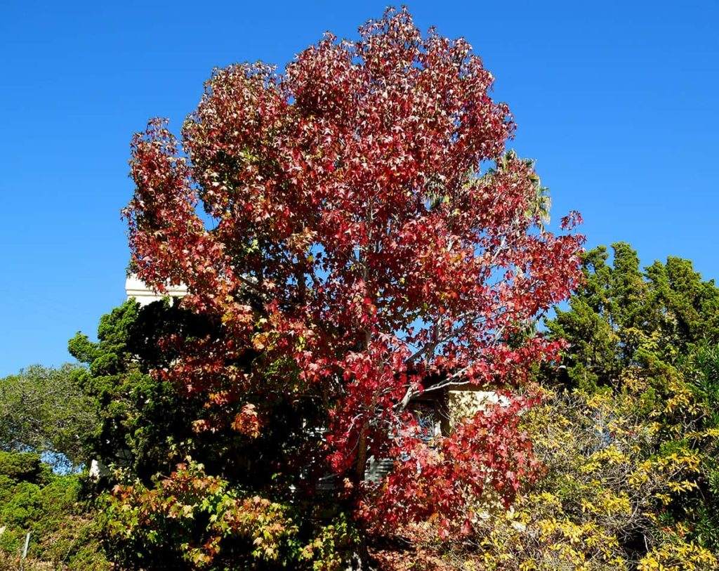 Liquidambar Tree Dec 2016 Tree of the Month
