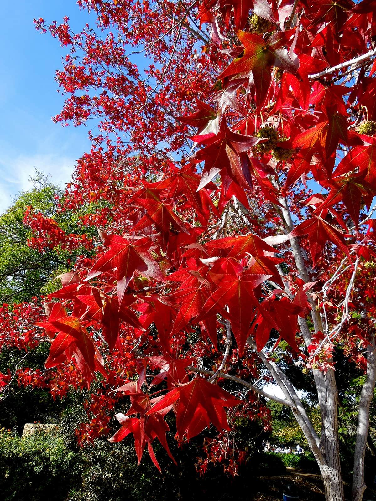 Liquidambar Tree Dec 2016
