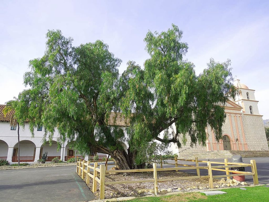 California Pepper Tree - SB Beautiful Tree of the Month