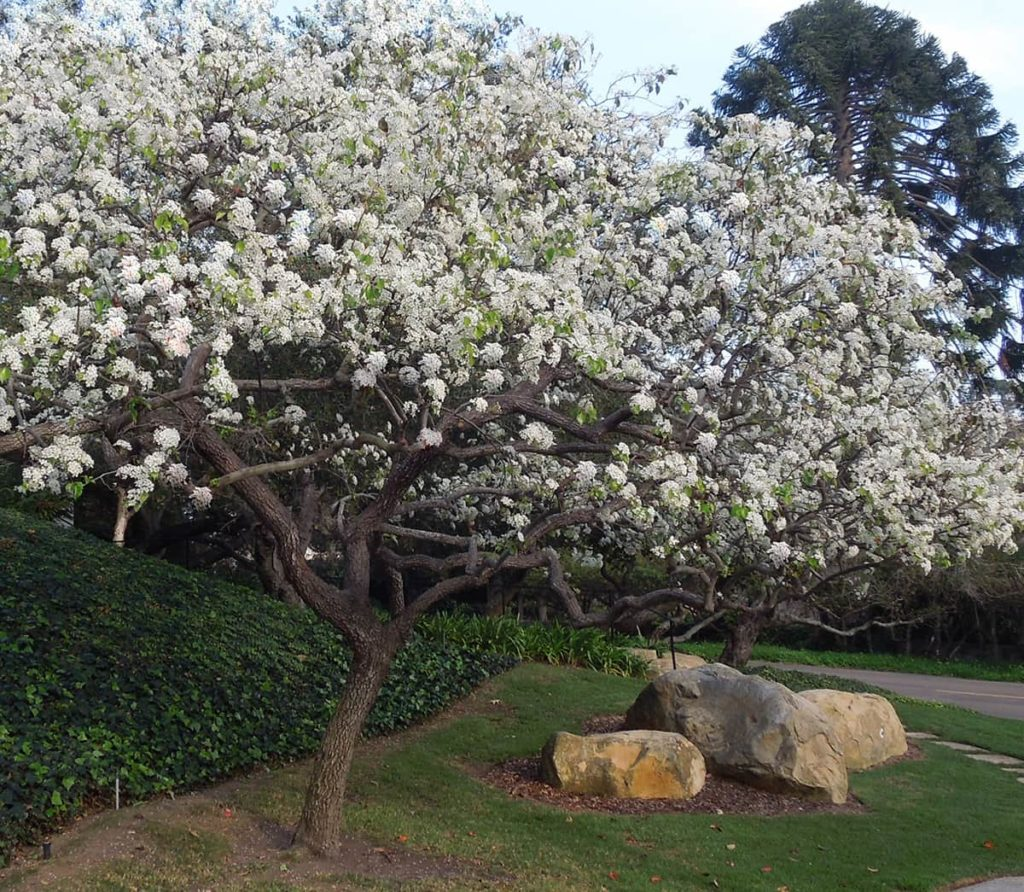 Evergreen Pear Tree of the Month SB Beautiful