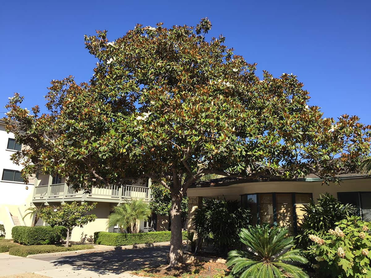 The Southern Magnolia Santa Barbara Beautiful