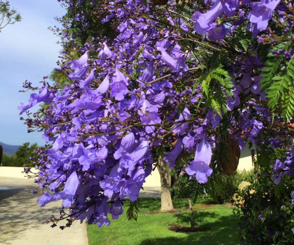Jacaranda Blossoms SB Beautiful Tree of the Month