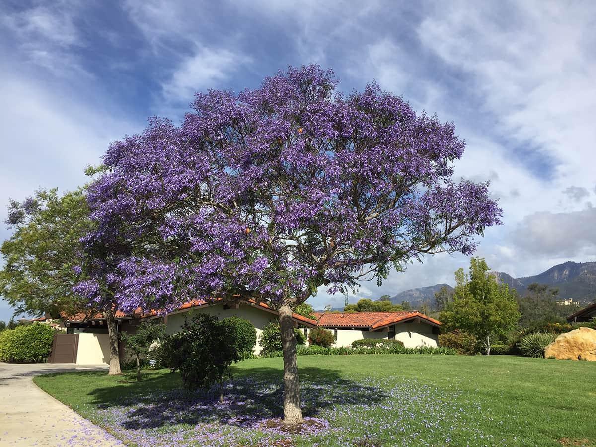 Jacaranda Santa Barbara Beautiful