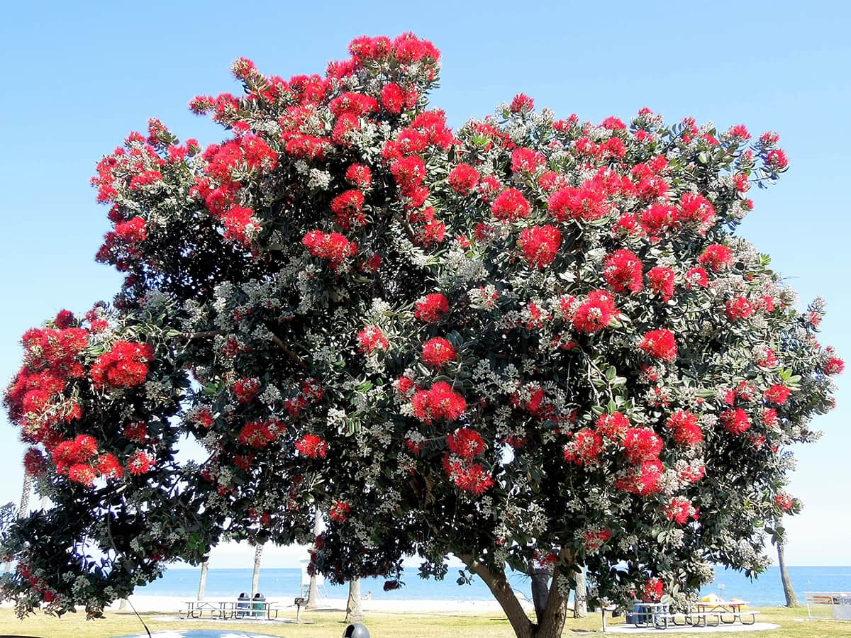 New Zealand Christmas Tree Santa Barbara Beautiful