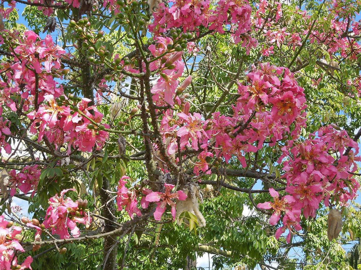 The Silk Floss Tree Santa Barbara Beautiful