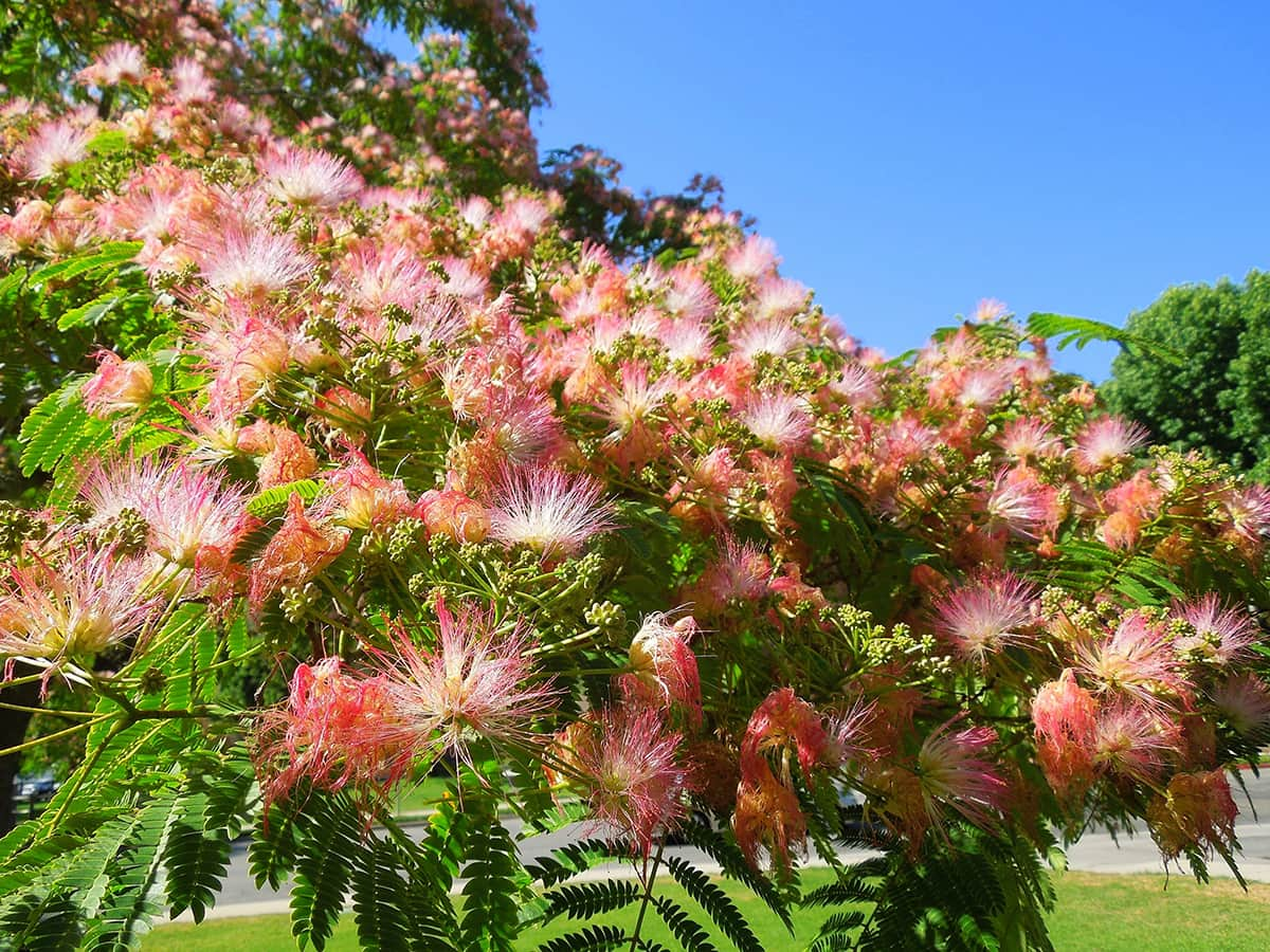 Mimosa Hidden Valley Park SBB Tree of the Month July 2017