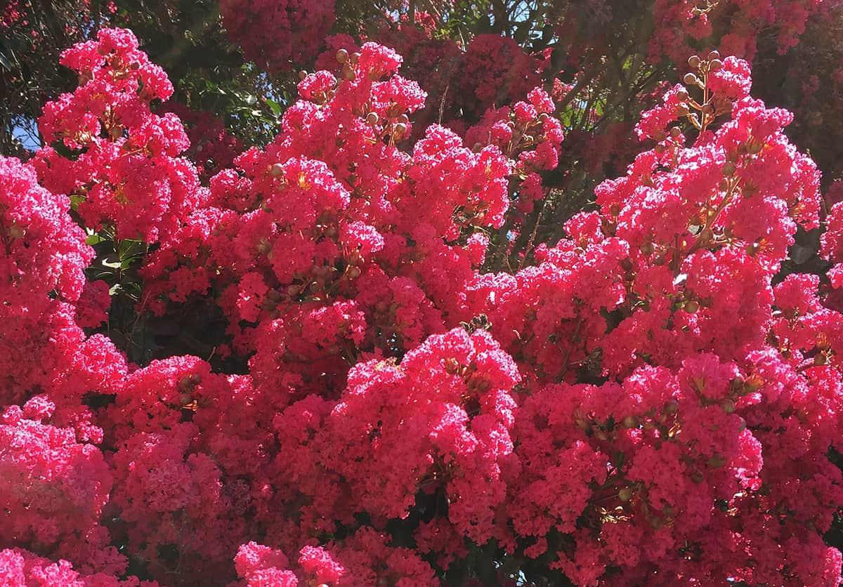 Crape Myrtle Flowers
