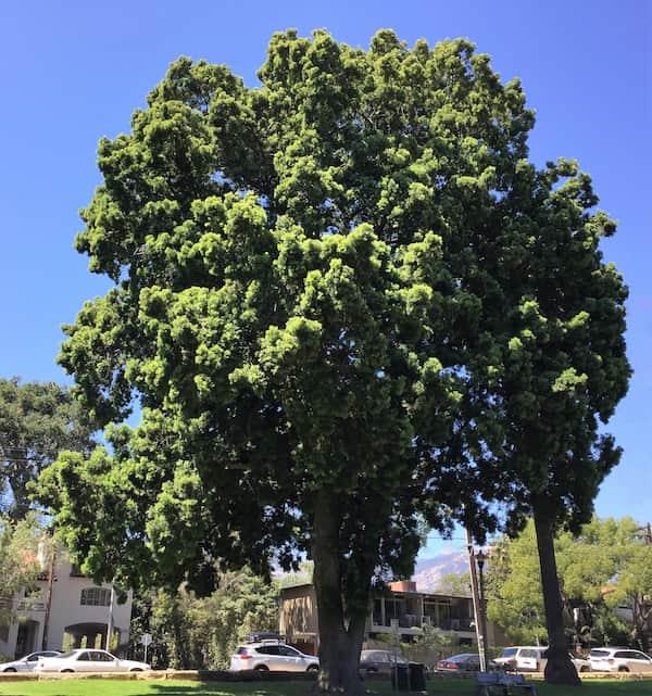 Fern Pine Santa Barbara