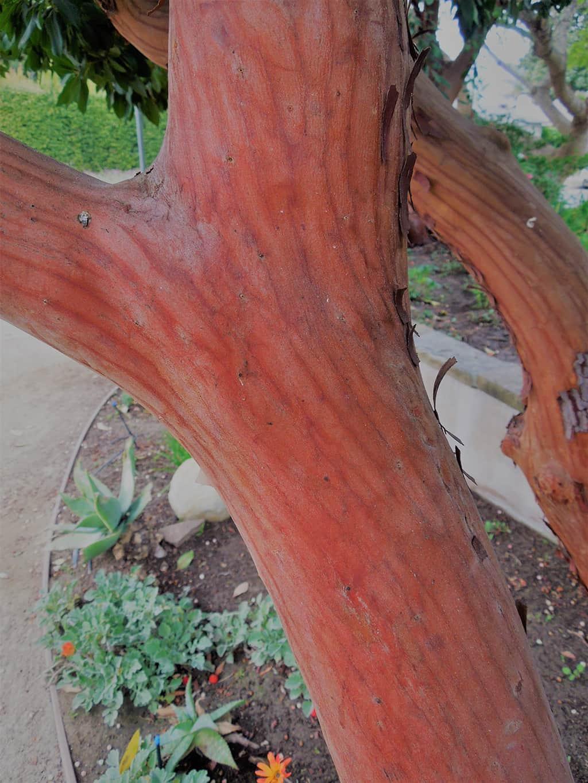 Marina Strawberry Tree Bark