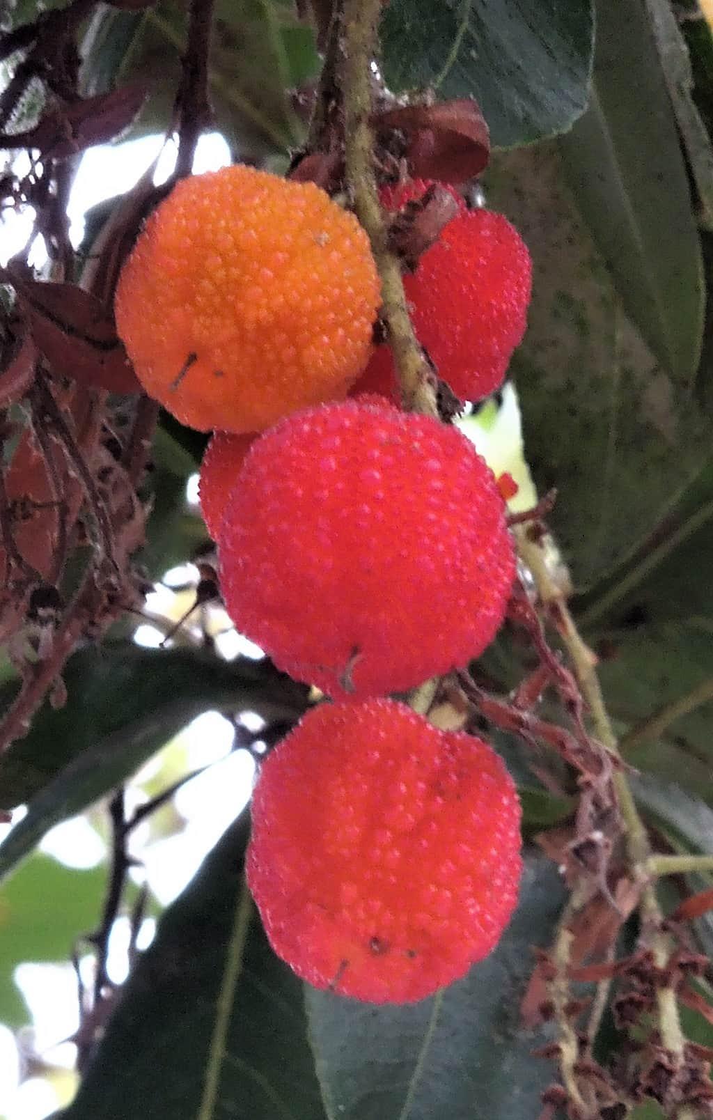Arbutus Marina Tree Fruit