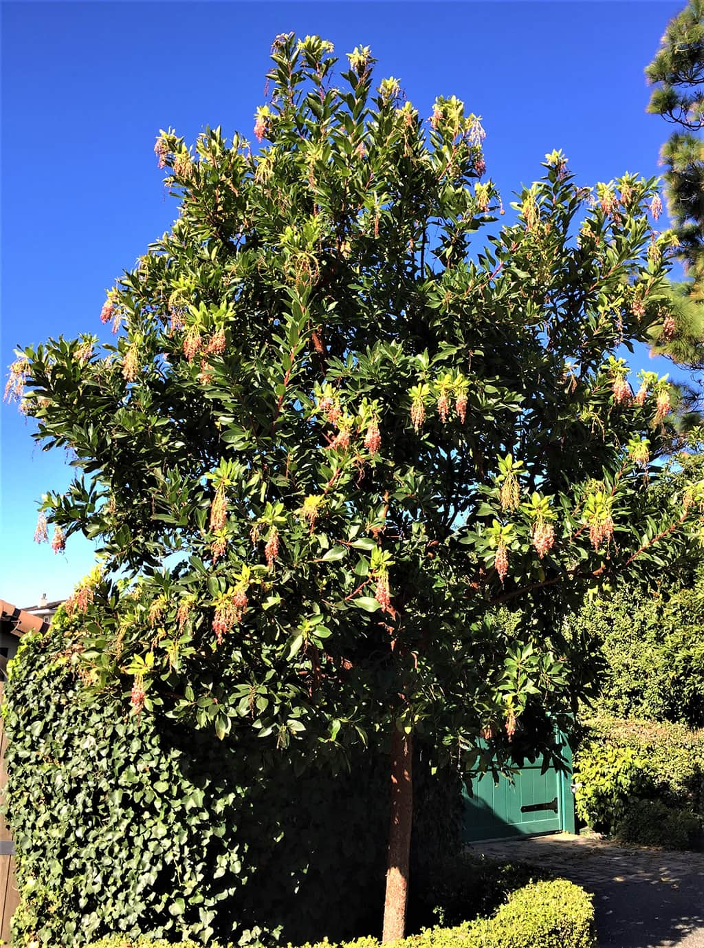 Marina Strawberry Tree Santa Barbara Beautiful