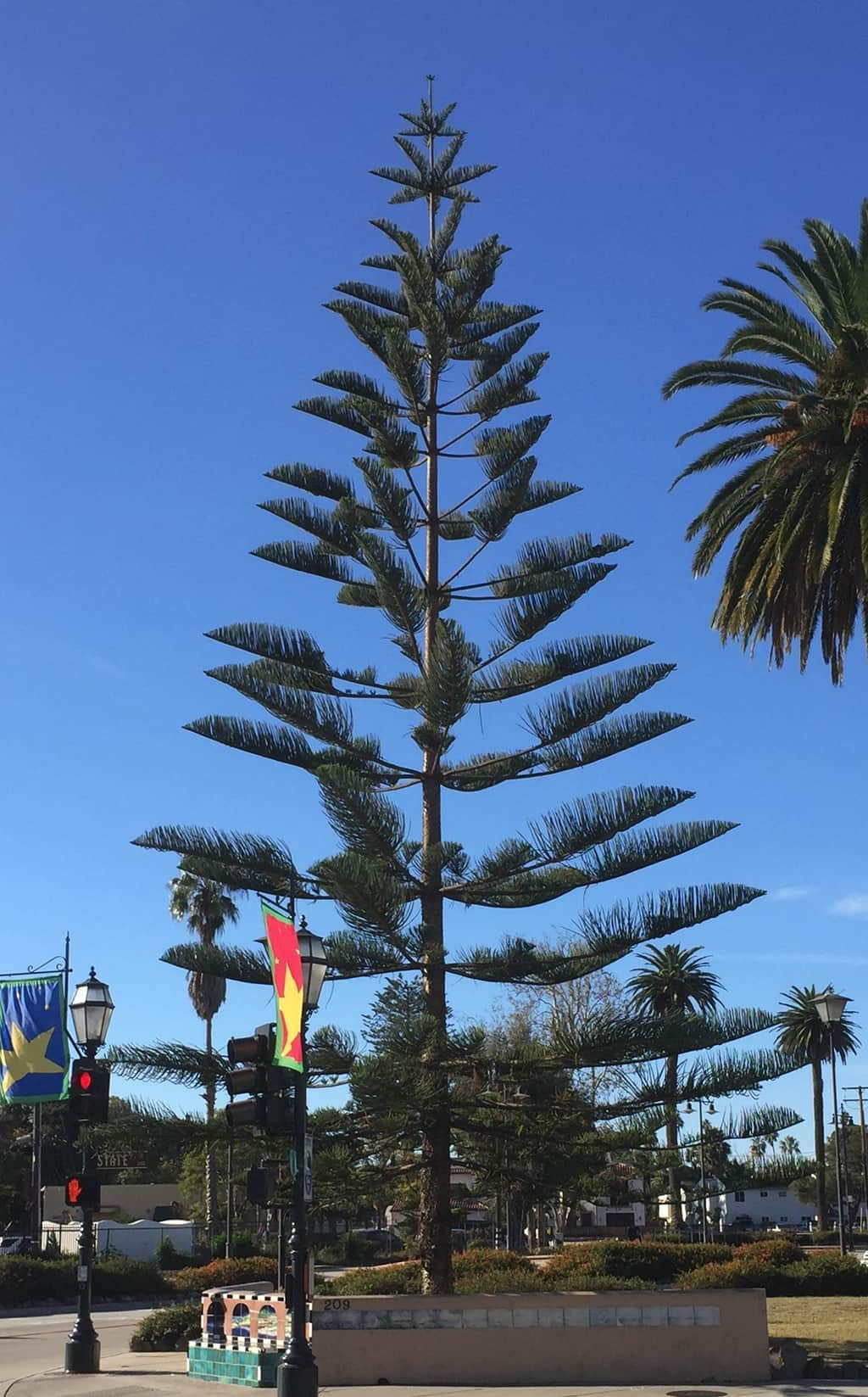 Norfolk Island Pine Santa Barbara