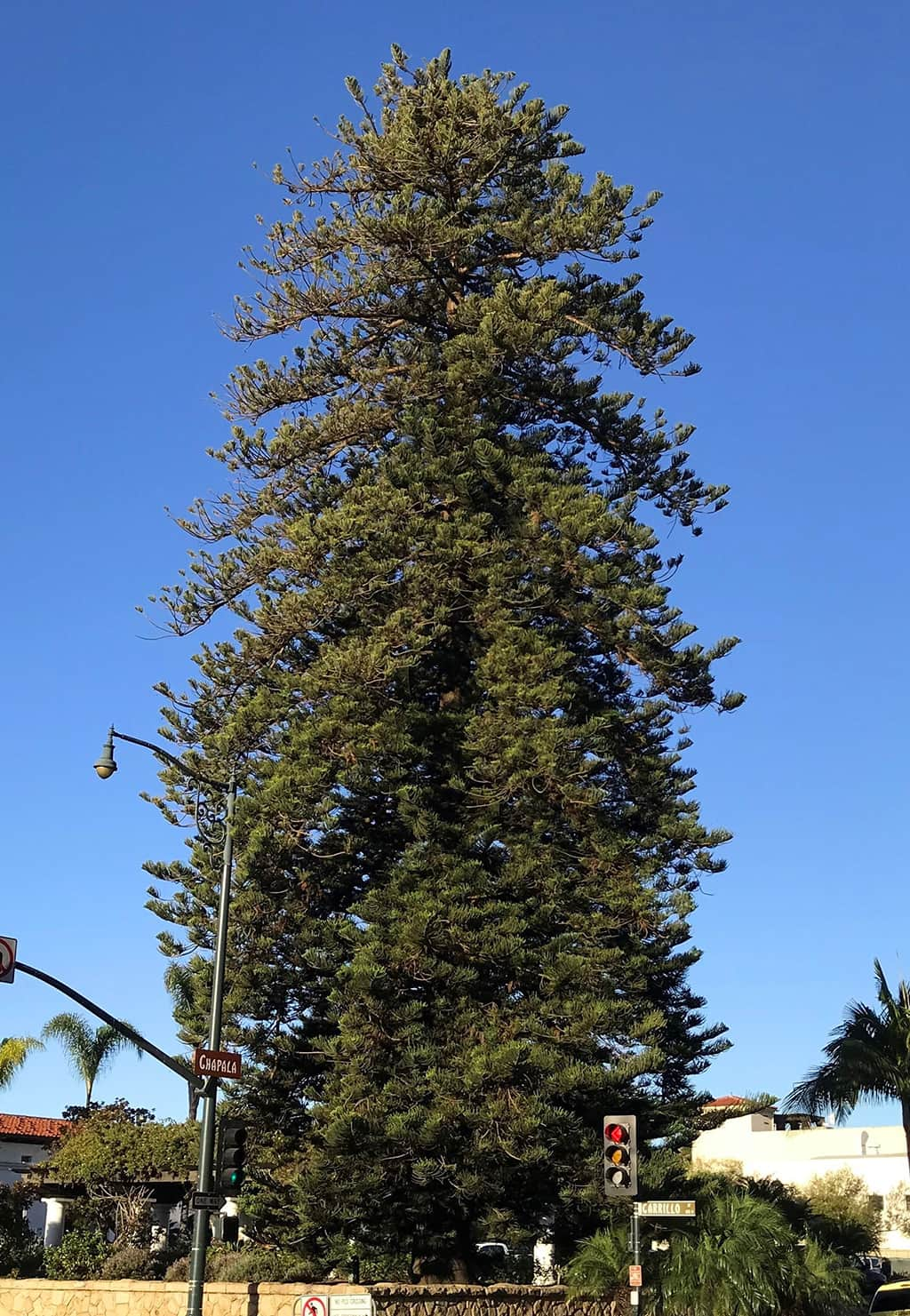 Norfolk Island Pine Tree of the Month Dec 2017