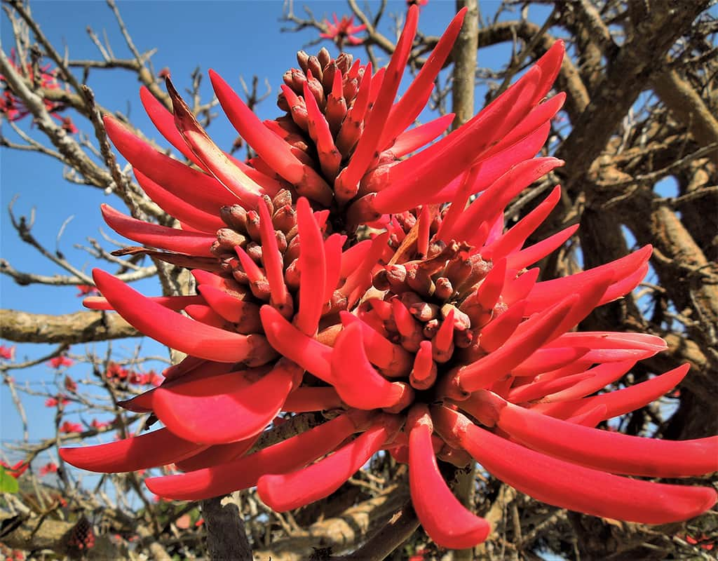 Naked Coral Tree Flower by David Gress