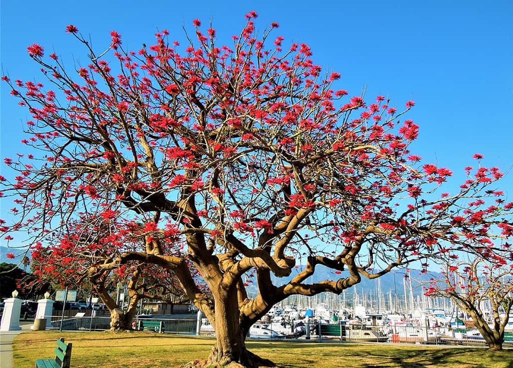 Naked Coral Tree - by David Gress