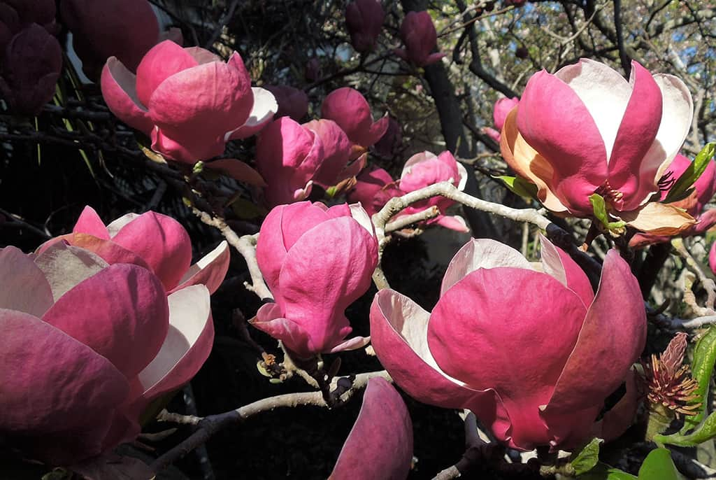 Saucer Magnolia - Burgendy Flower - Photo David Gress