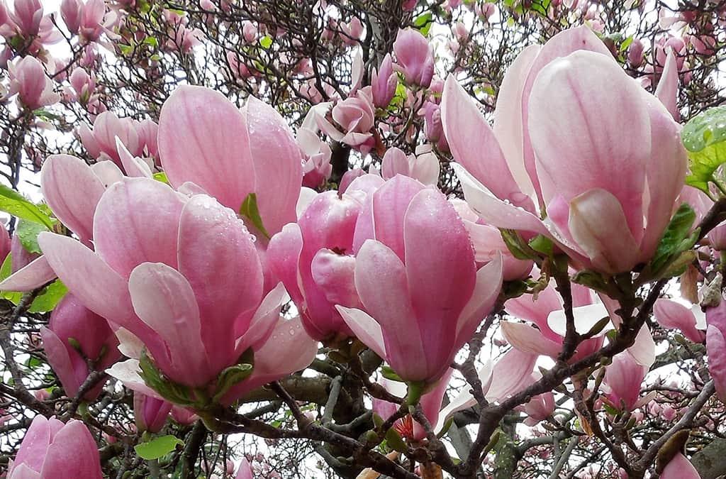 Saucer Magnolia Pink Flower