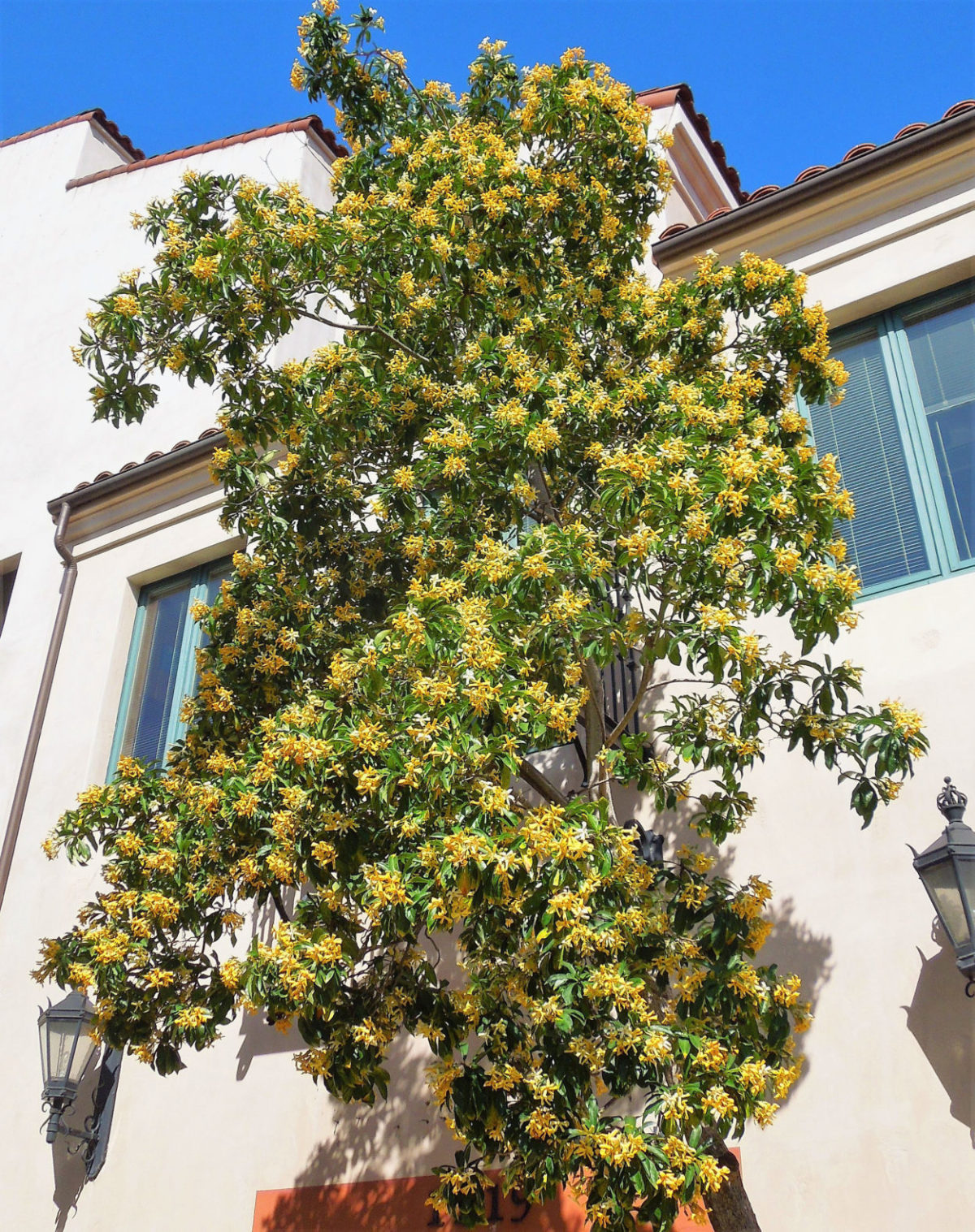 Sweetshade Tree