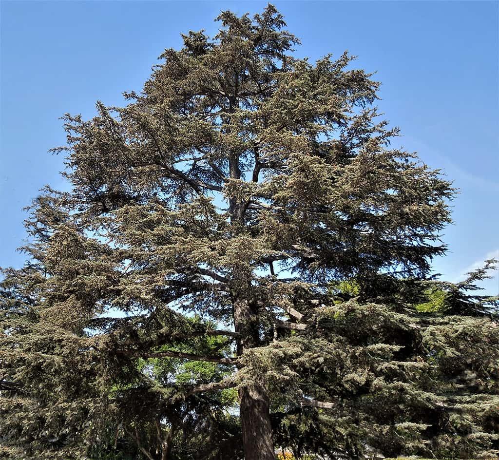 Deodar Cedar by David Gress