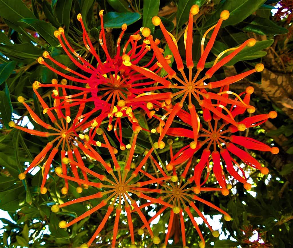 Fire-wheel Tree Flowers by David Gress