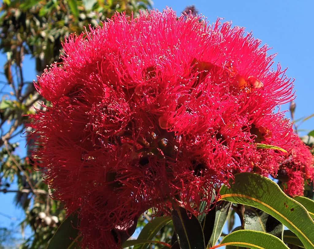 Red Flowering Eucalyptus - Flowers by David Gress