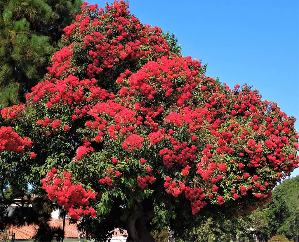 Red Flowering Eucalyptus by David Gress