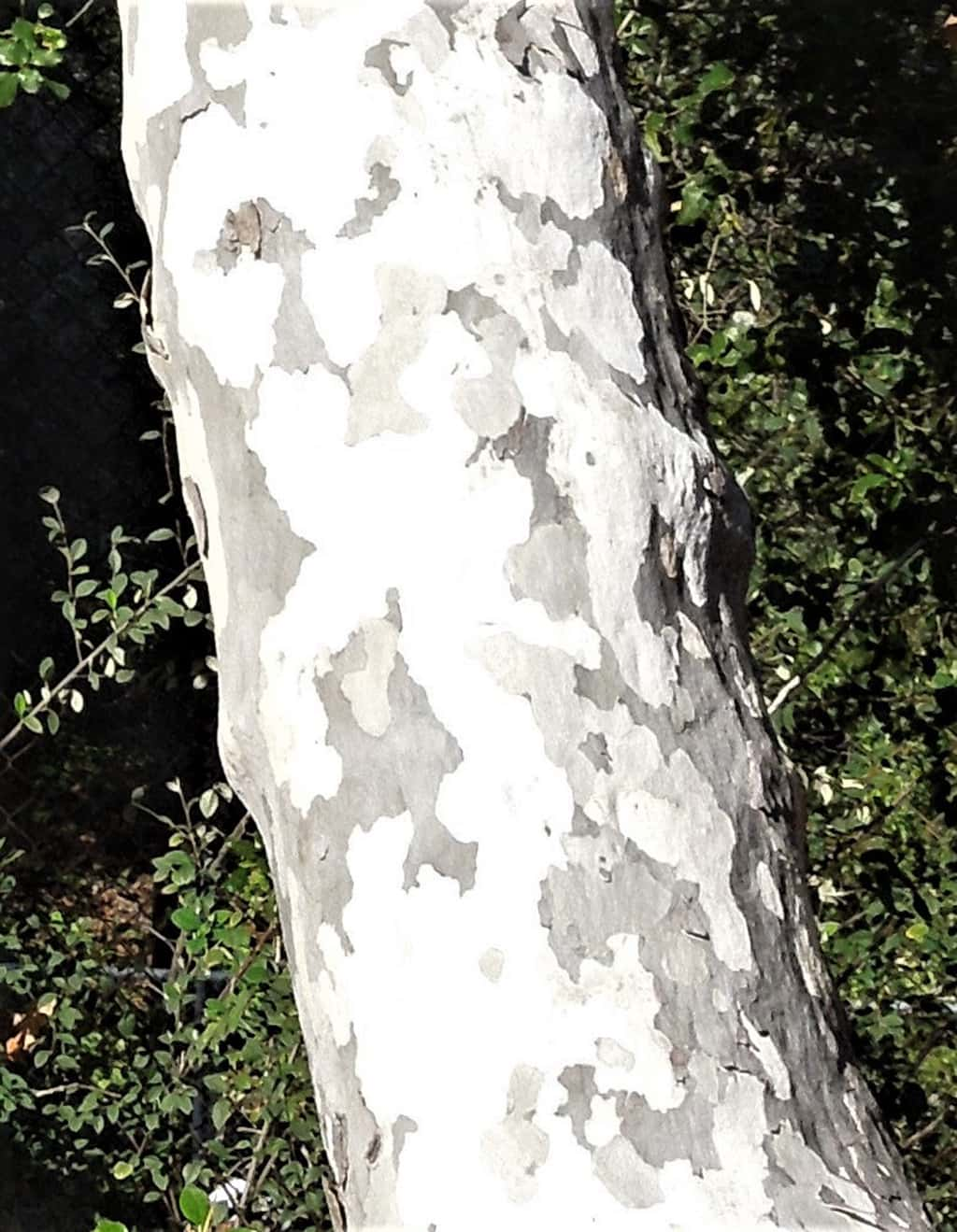California Sycamore - Bark by David Gress