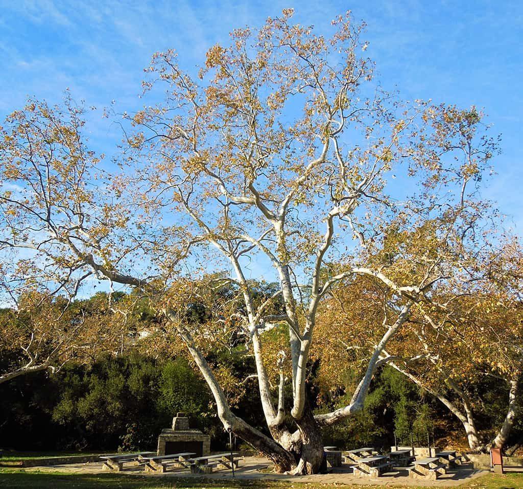 California Sycamore by David Gress