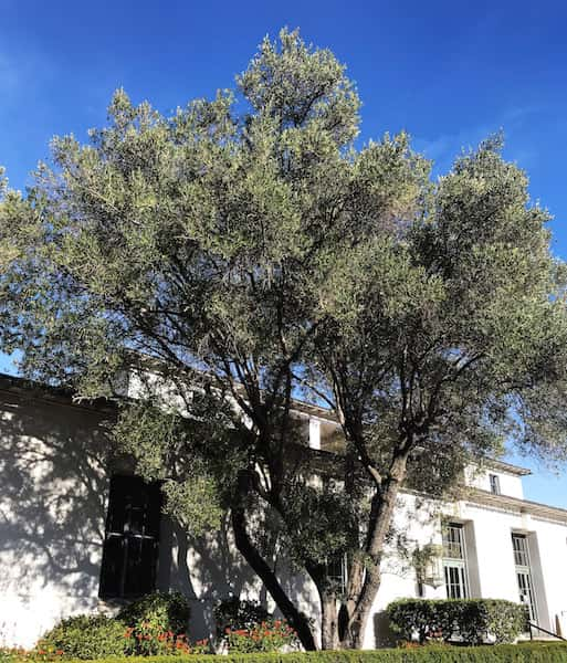 Olive Tree by David Gress