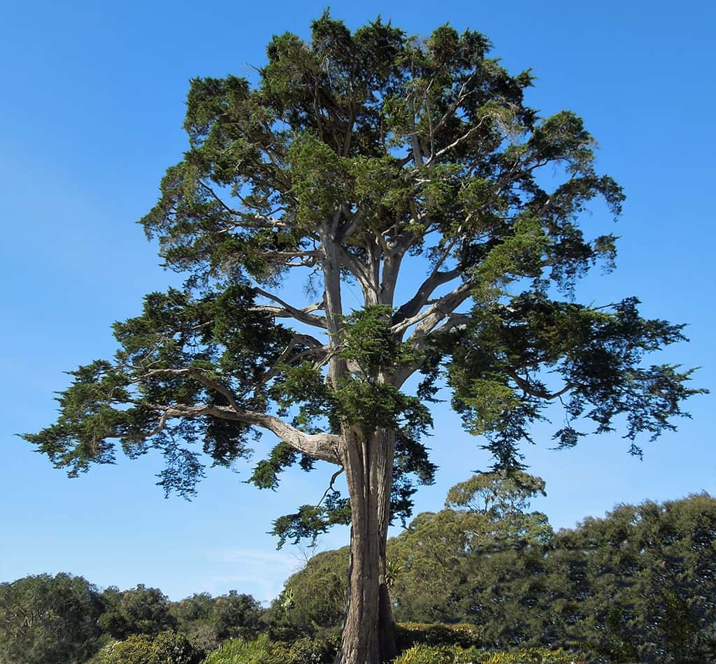 Monterey Cypress by David Gress