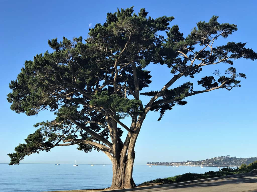 Monterey Cypress Tree Photo by David Gress