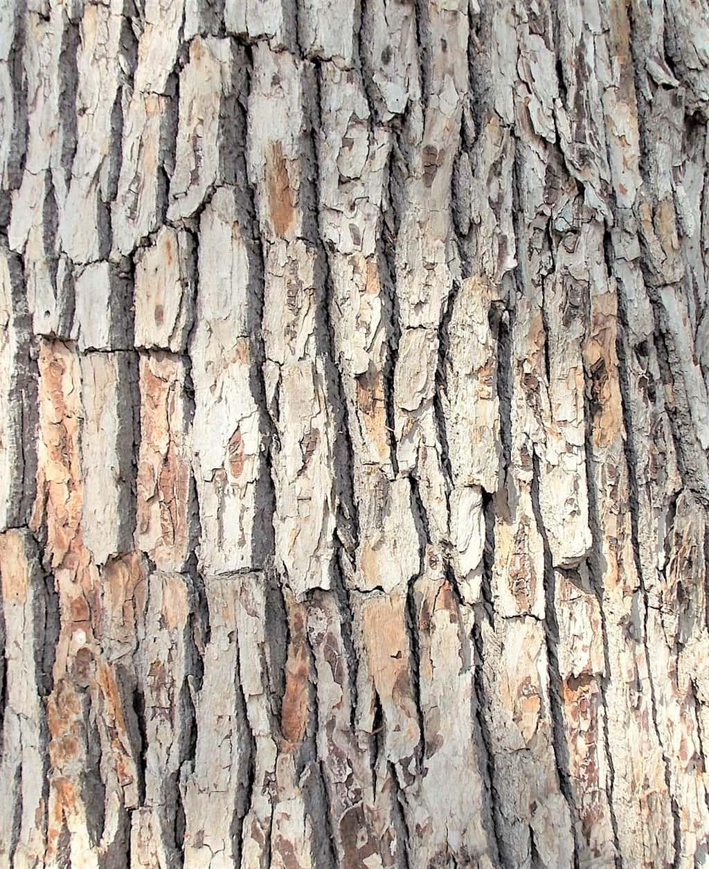 Camphor Tree – Santa Barbara Beautiful