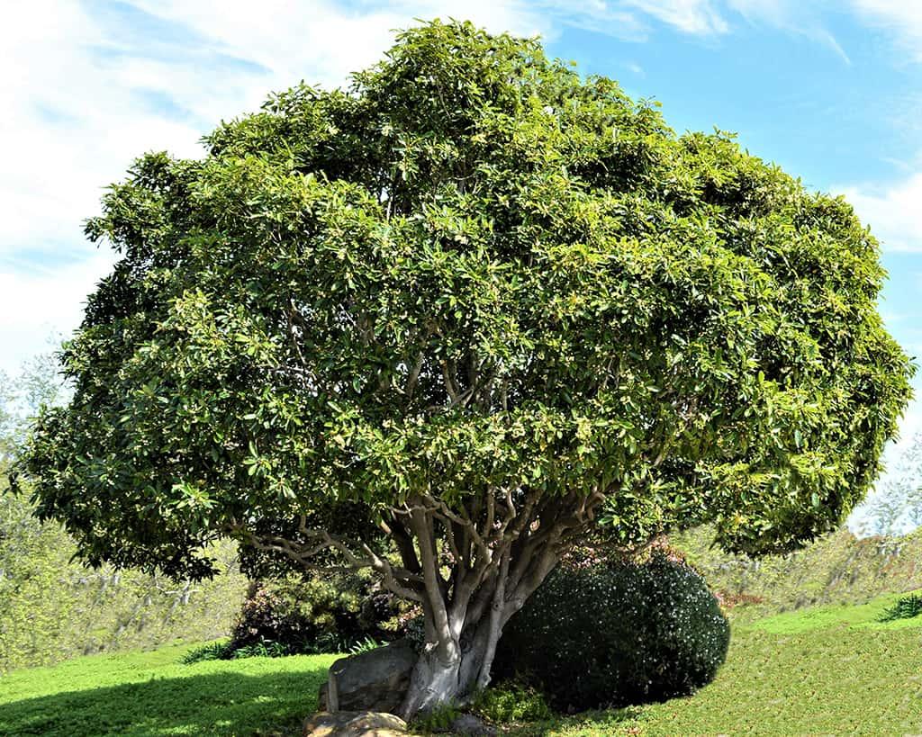 Victorian Box Tree - Pittosporum undulatum