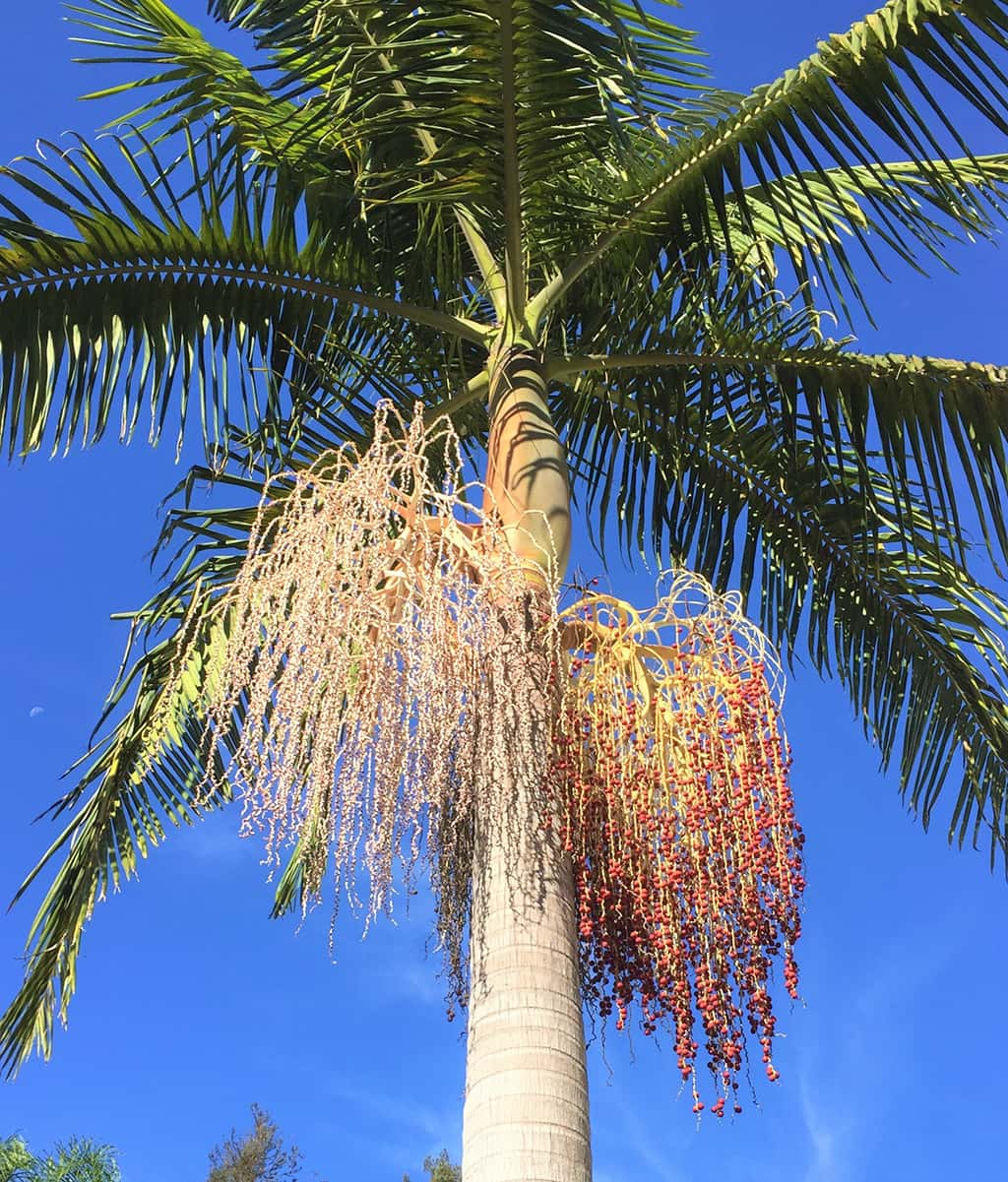 King Palm Tree
