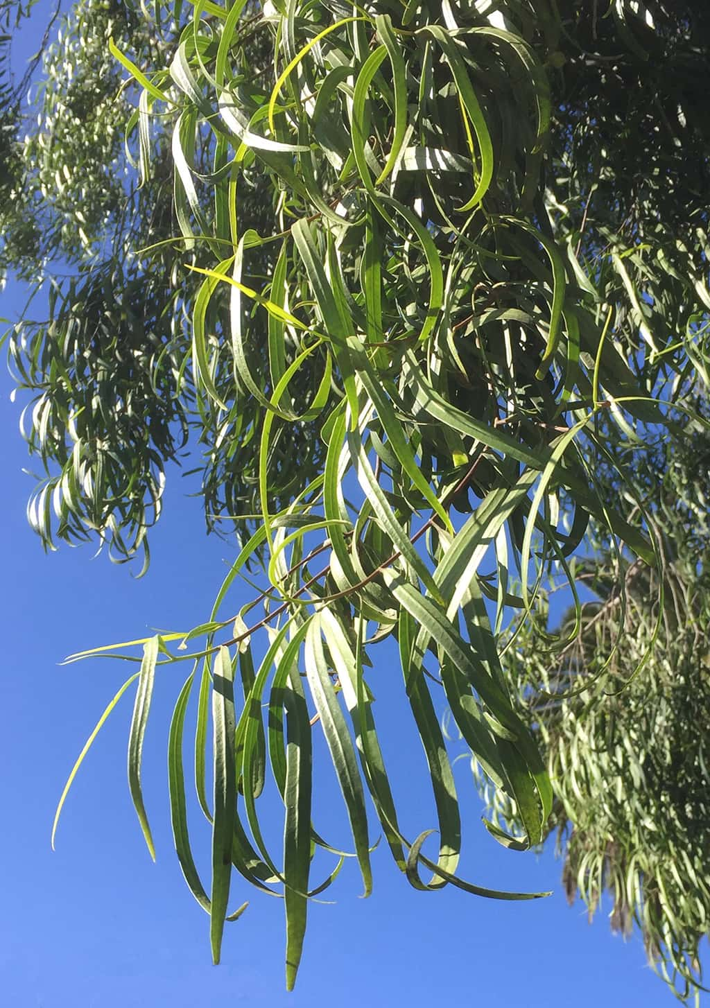 Australian Willow leaves by David Gress