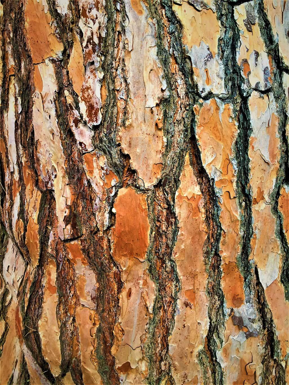 Stone Pine Bark by David Gress