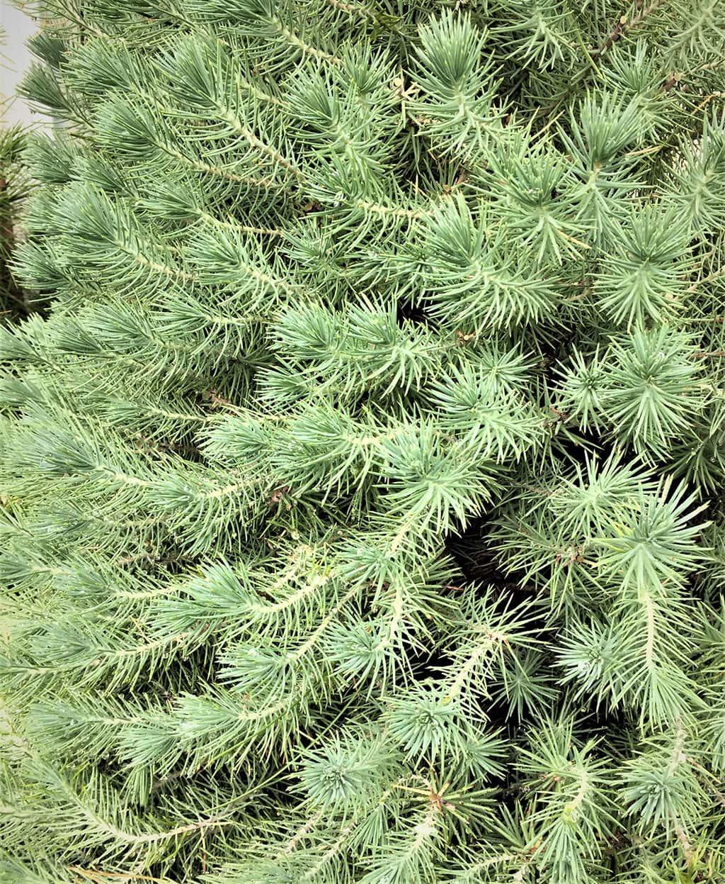 Stone Pine Juvenile Foliage by David Gress