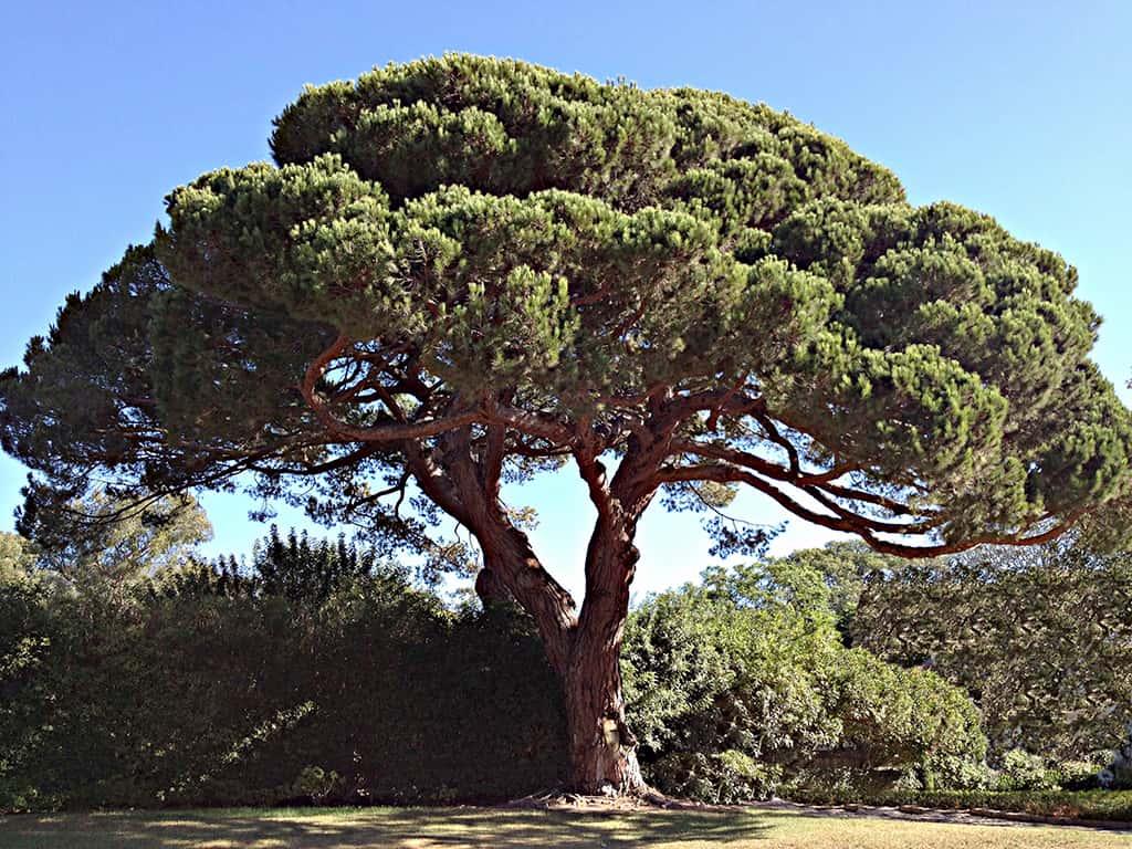 Stone Pine by David Gress
