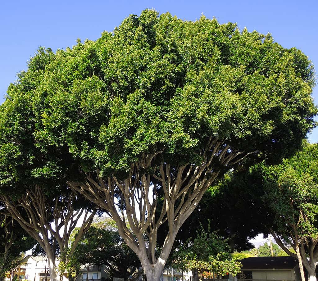 Indian Laurel Fig by David Gress