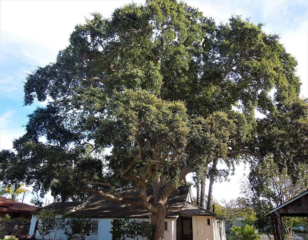 Cork Oak tree by David Gress