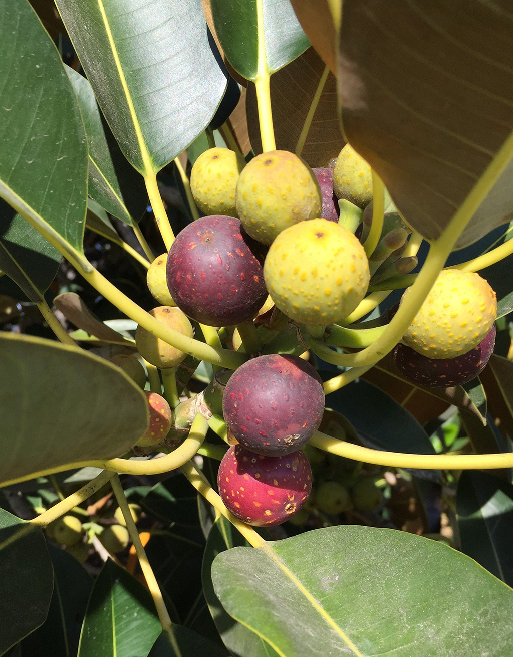 Moreton Bay Fig - Fruit