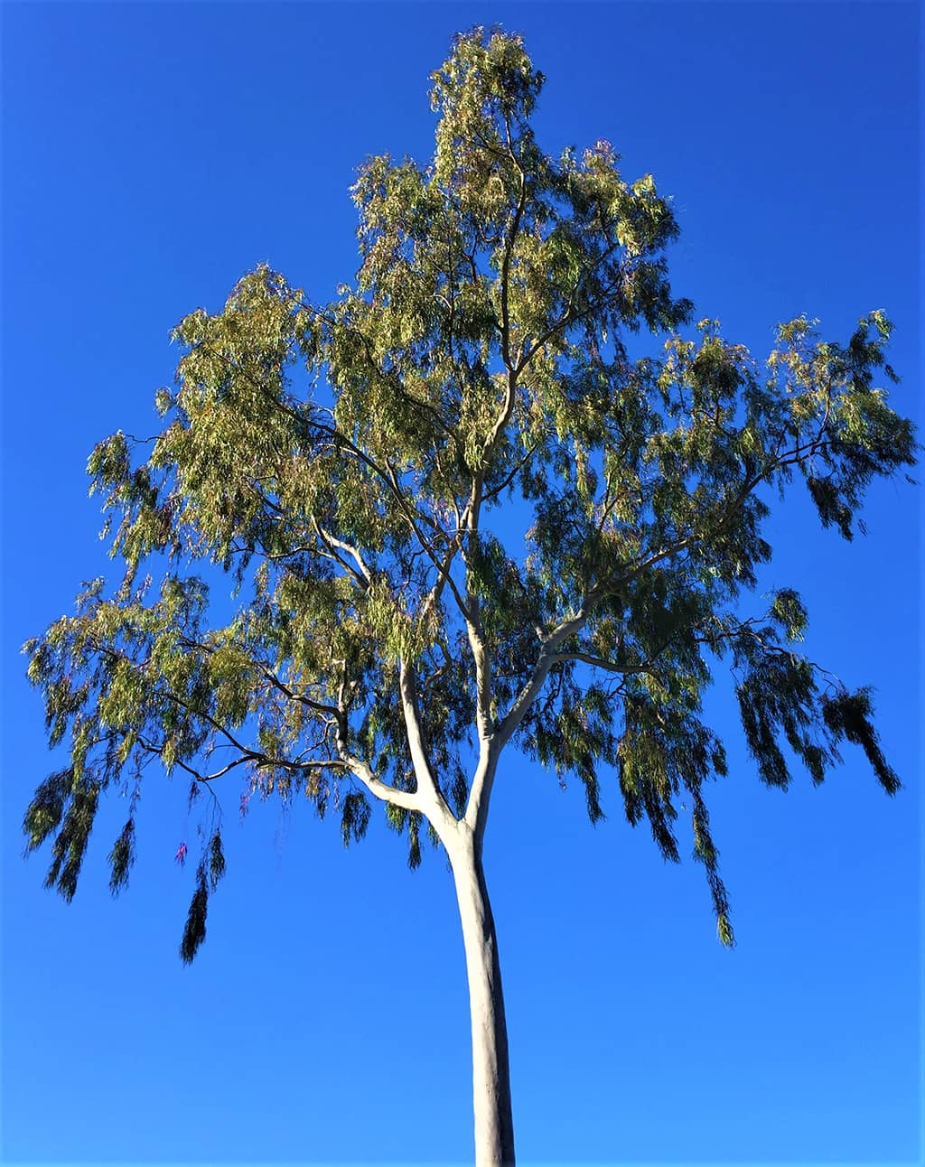 Lemon Scented Gum tree by David Gress