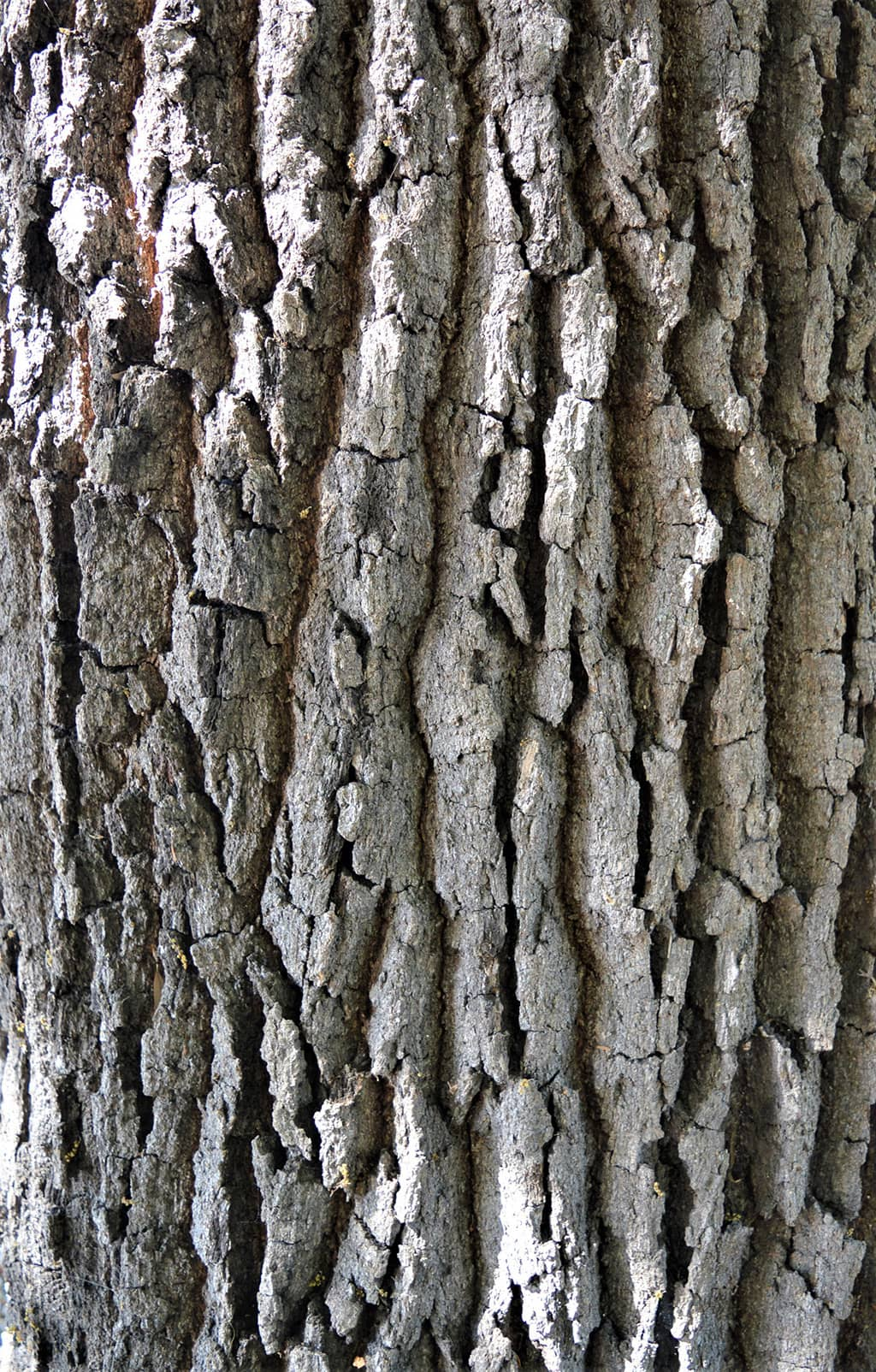 Southern Live Oak - Bark - photo David Gress