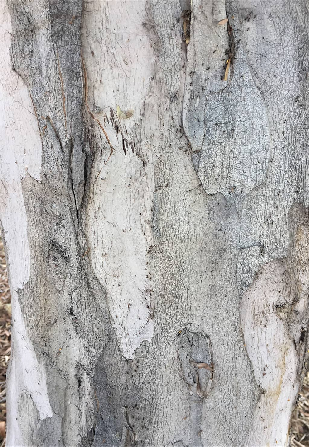 Water Gum tree bark photo by David Gress