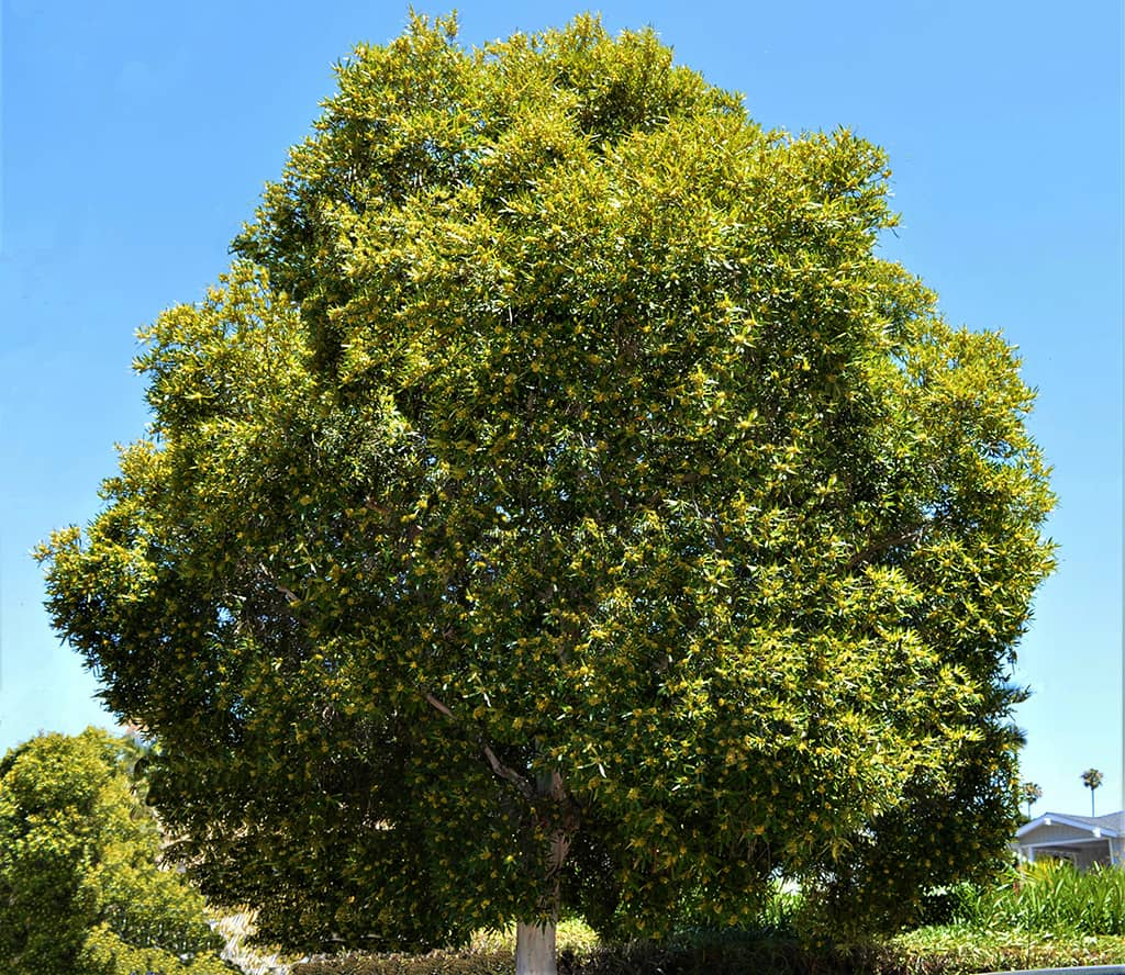 Water Gum Tree SB Beautiful Tree of the Month August 2020 by David Gress