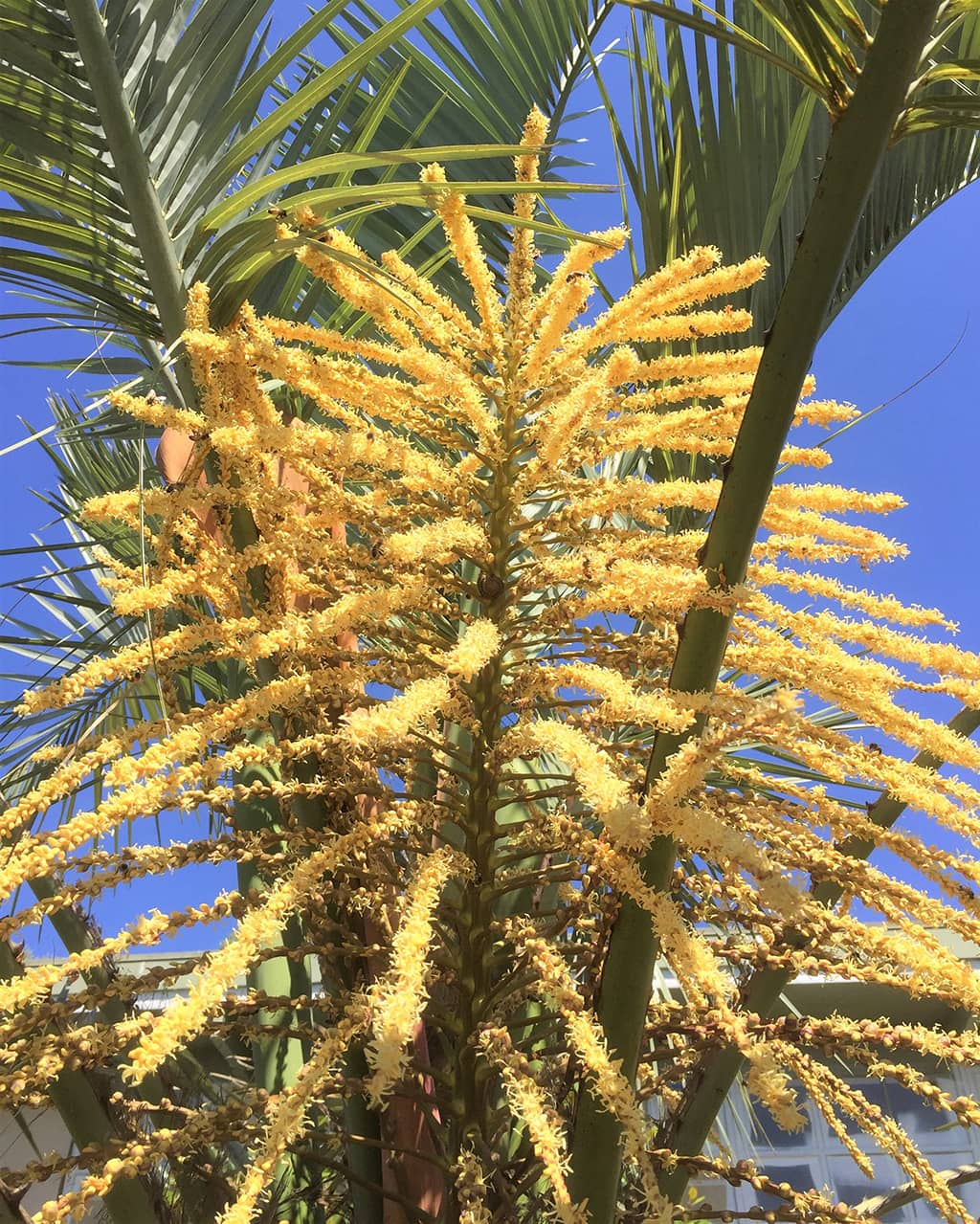 Jelly Palm Flowers by David Gress - Tree of the Month Sept 2020